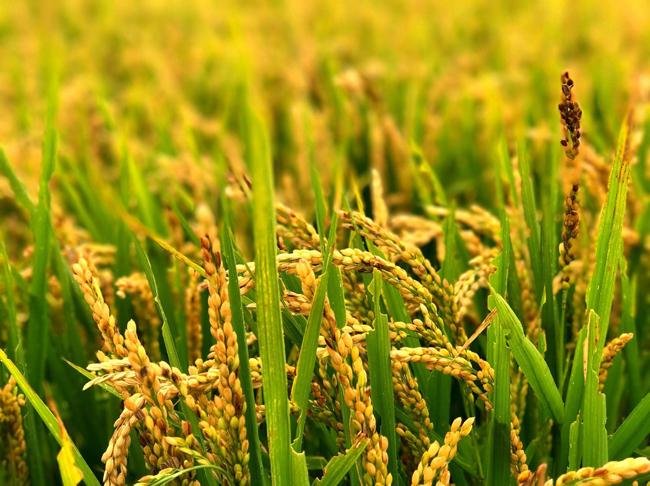 超级稻高产栽培集成技术