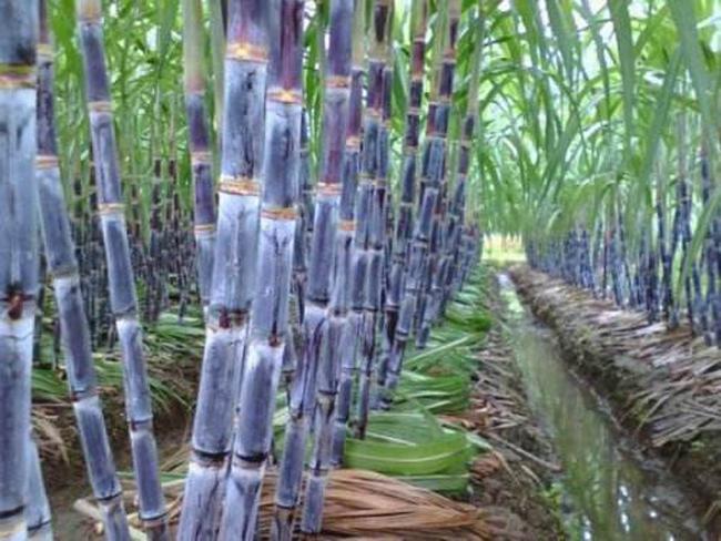 甘蔗种植示范区
