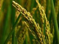 处暑时节晚稻怎么施肥